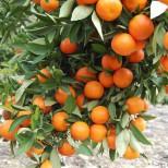 Частные лица сталкиваются с проблемами при перевозке мандарин из Абхазии в Россию