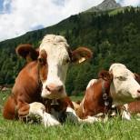 Новая стратегия развития ветеринарного дела и животноводства в Абхазии