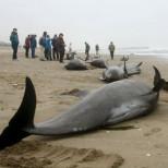 Паника в Японии: самоубийство дельфинов — предвестник землетрясения