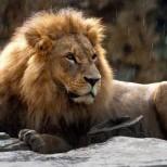 Лев, сбежавший из зоопарка в Тбилиси, загрыз мужчину